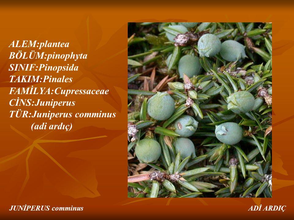 FAMİLYA:Cupressaceae CİNS:Juniperus TÜR:Juniperus comminus (adi ardıç)