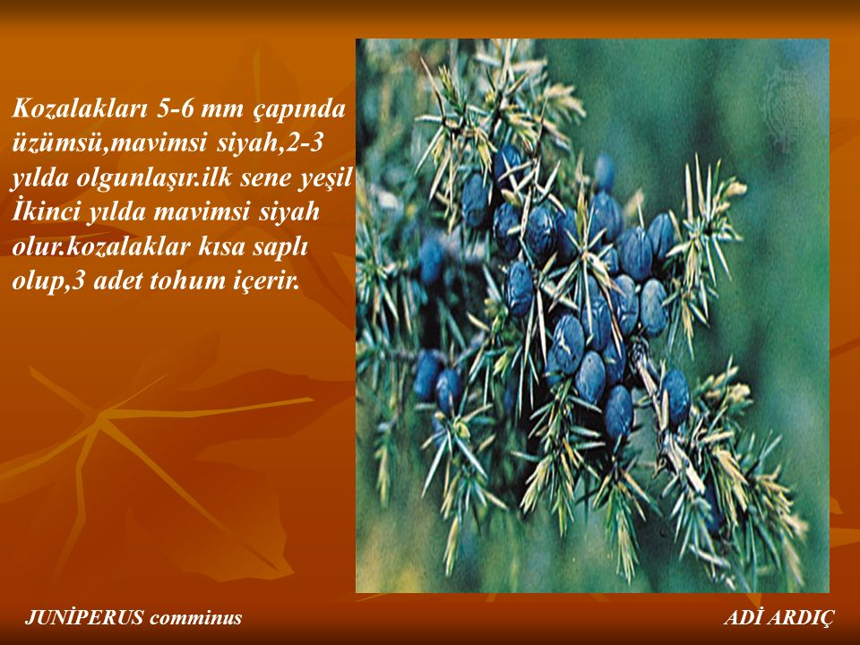 Kozalakları 5-6 mm çapında üzümsü,mavimsi siyah,2-3