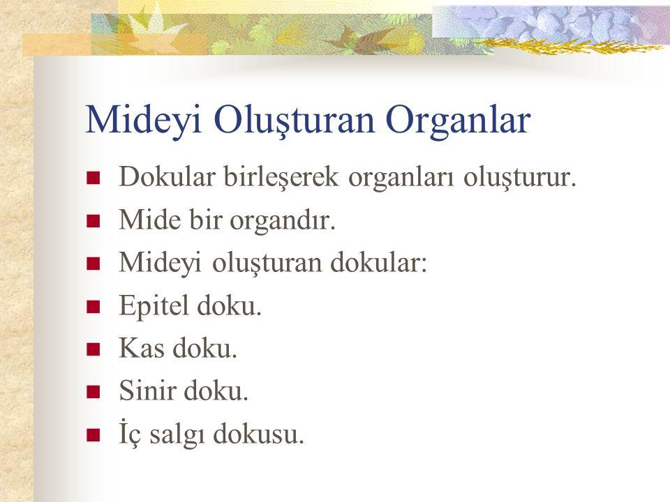 Mideyi Oluşturan Organlar