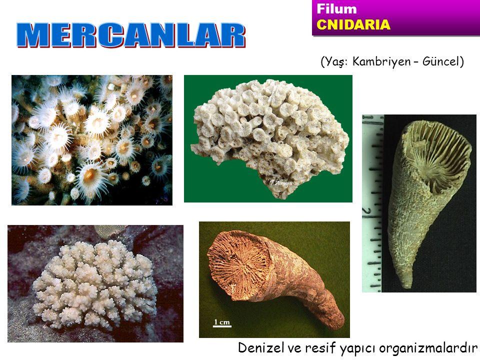 MERCANLAR Filum CNIDARIA Denizel ve resif yapıcı organizmalardır
