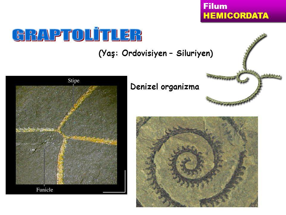 GRAPTOLİTLER Filum HEMICORDATA (Yaş: Ordovisiyen – Siluriyen)