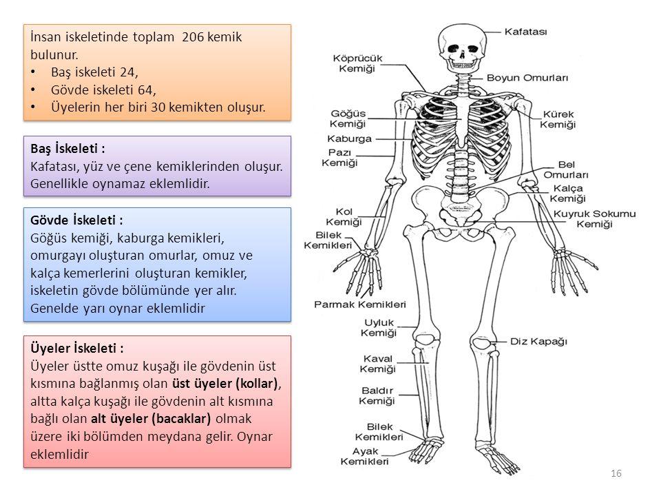 İnsan iskeletinde toplam 206 kemik bulunur.