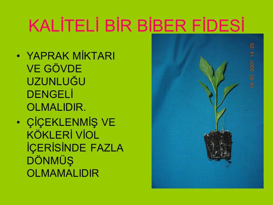 KALİTELİ BİR BİBER FİDESİ