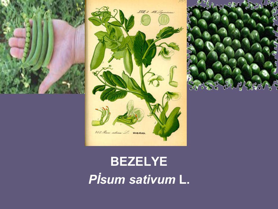 BEZELYE Pİsum sativum L.
