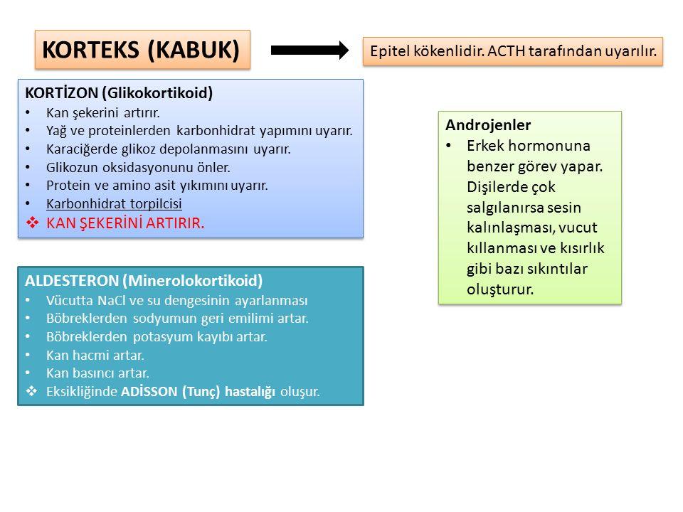 KORTEKS (KABUK) Epitel kökenlidir. ACTH tarafından uyarılır.