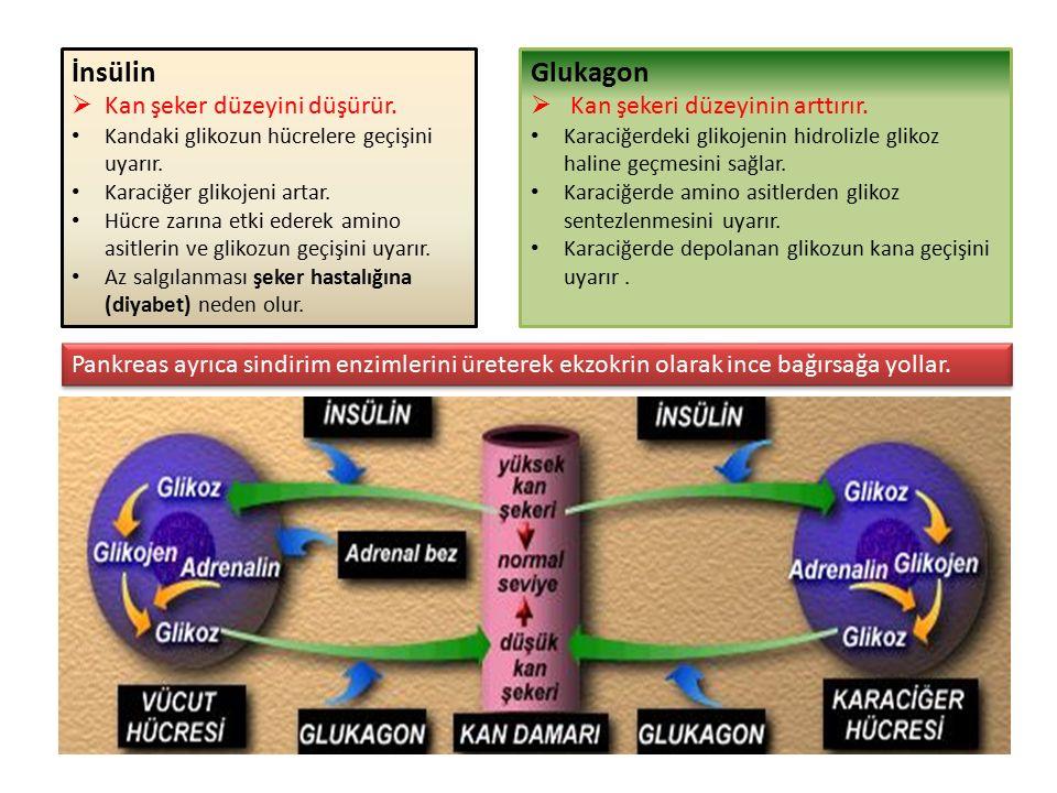 İnsülin Glukagon Kan şeker düzeyini düşürür.