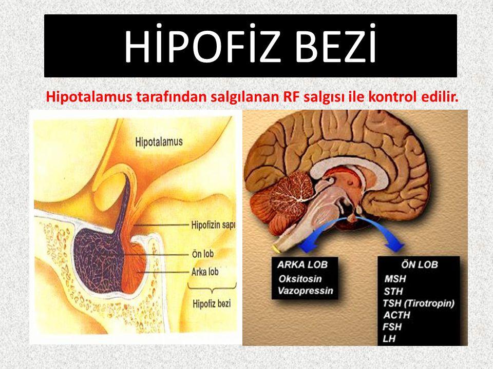 HİPOFİZ BEZİ Hipotalamus tarafından salgılanan RF salgısı ile kontrol edilir.