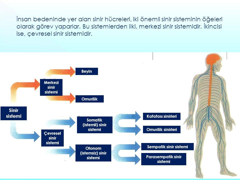 İnsan bedeninde yer alan sinir hücreleri, iki önemli sinir sisteminin öğeleri olarak görev yaparlar. Bu sistemlerden ilki, merkezi sinir sistemidir. İkincisi ise, çevresel sinir sistemidir.