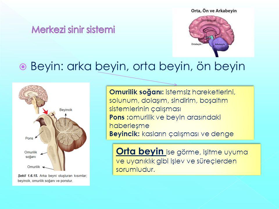 Beyin: arka beyin, orta beyin, ön beyin