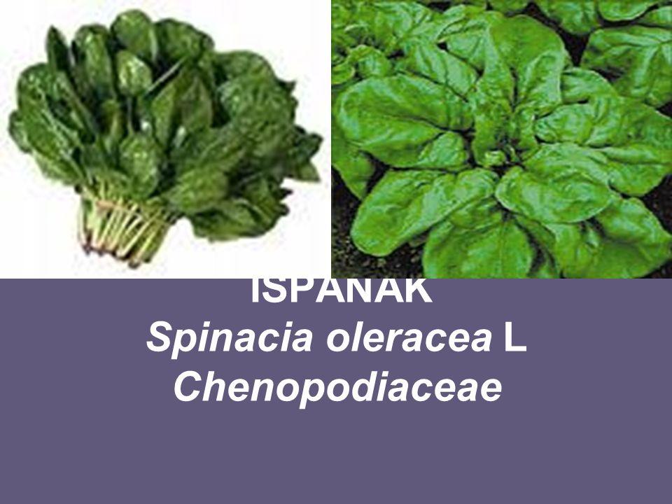 ISPANAK Spinacia oleracea L Chenopodiaceae