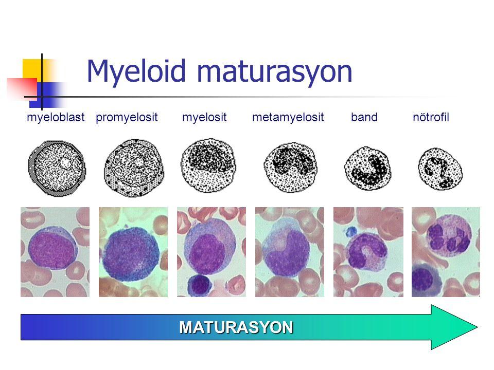 Myeloid maturasyon MATURASYON myeloblast promyelosit myelosit