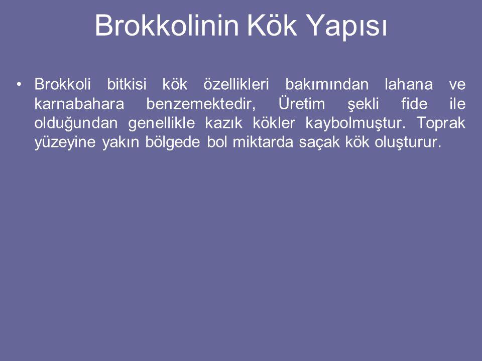Brokkolinin Kök Yapısı