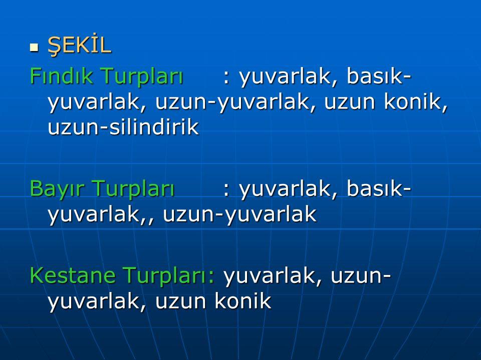 ŞEKİL Fındık Turpları : yuvarlak, basık-yuvarlak, uzun-yuvarlak, uzun konik, uzun-silindirik.