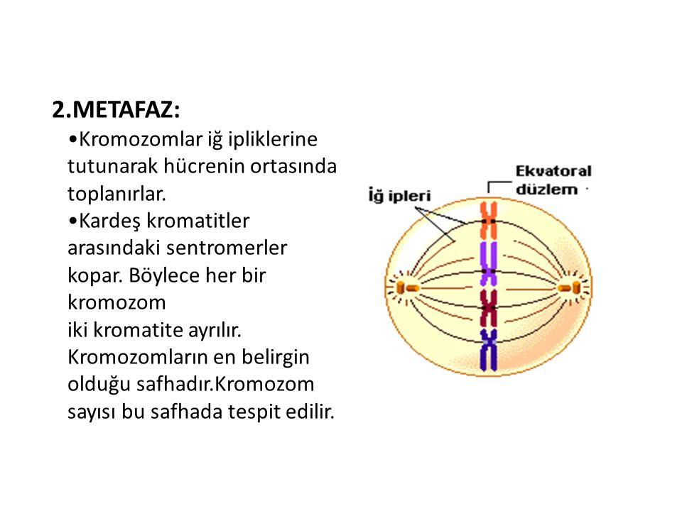 2.METAFAZ: •Kromozomlar iğ ipliklerine tutunarak hücrenin ortasında toplanırlar.