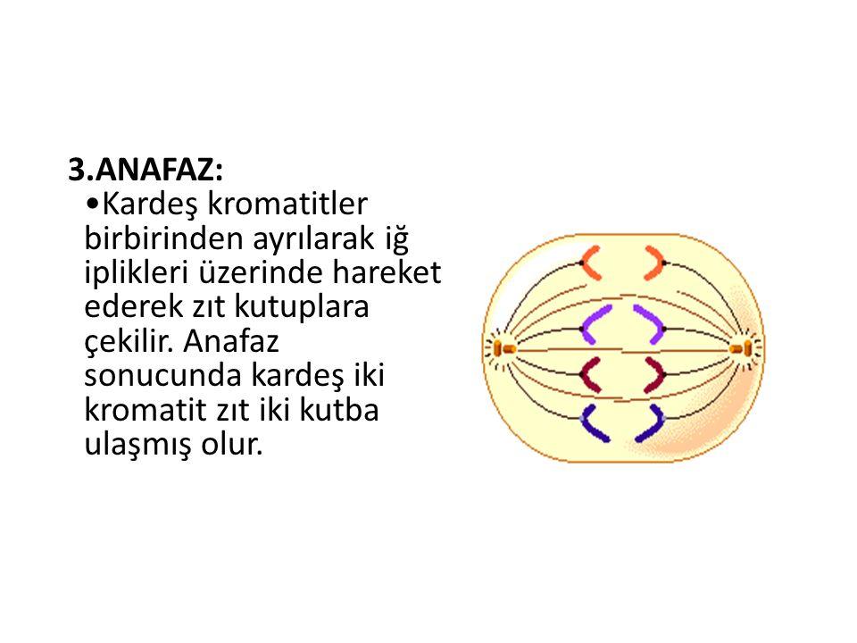 3.ANAFAZ: •Kardeş kromatitler birbirinden ayrılarak iğ iplikleri üzerinde hareket ederek zıt kutuplara çekilir.
