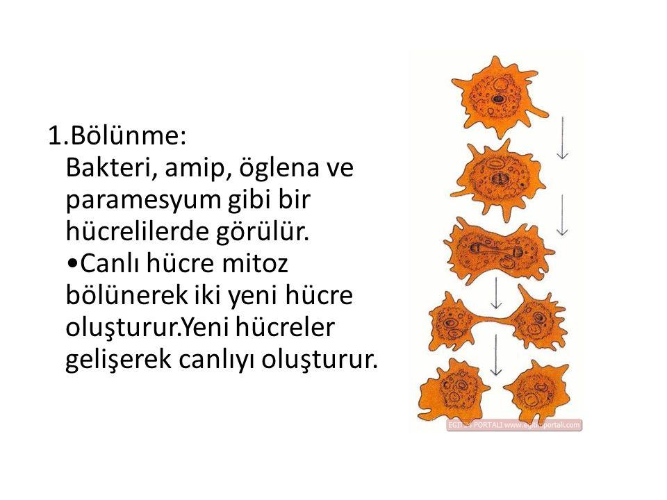 1.Bölünme: Bakteri, amip, öglena ve paramesyum gibi bir hücrelilerde görülür.