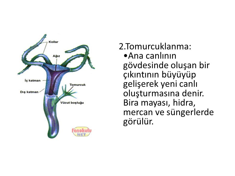 2.Tomurcuklanma: •Ana canlının gövdesinde oluşan bir çıkıntının büyüyüp gelişerek yeni canlı oluşturmasına denir.