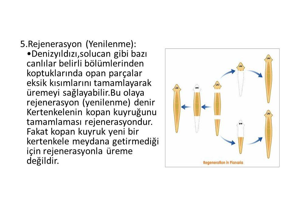 5.Rejenerasyon (Yenilenme): •Denizyıldızı,solucan gibi bazı canlılar belirli bölümlerinden koptuklarında opan parçalar eksik kısımlarını tamamlayarak üremeyi sağlayabilir.Bu olaya rejenerasyon (yenilenme) denir Kertenkelenin kopan kuyruğunu tamamlaması rejenerasyondur.