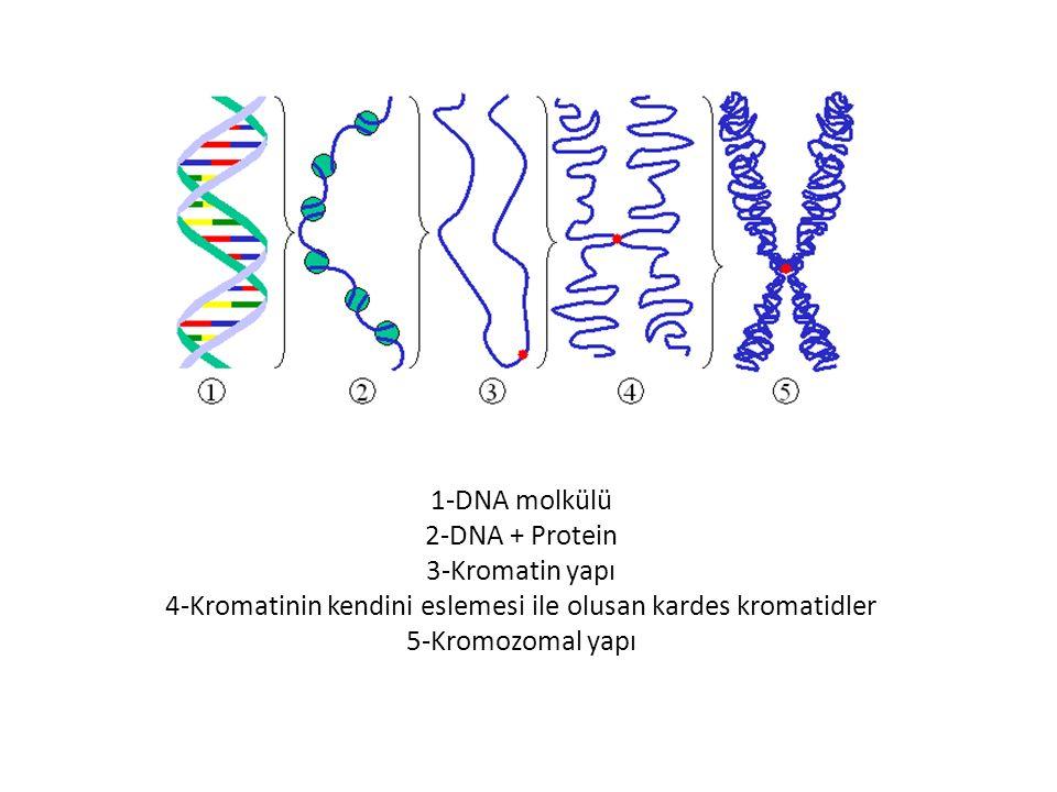 1-DNA molkülü 2-DNA + Protein 3-Kromatin yapı 4-Kromatinin kendini eslemesi ile olusan kardes kromatidler 5-Kromozomal yapı