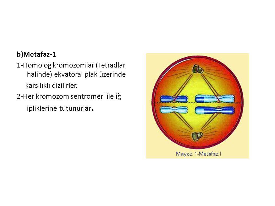b)Metafaz-1 1-Homolog kromozomlar (Tetradlar halinde) ekvatoral plak üzerinde karsılıklı dizilirler.