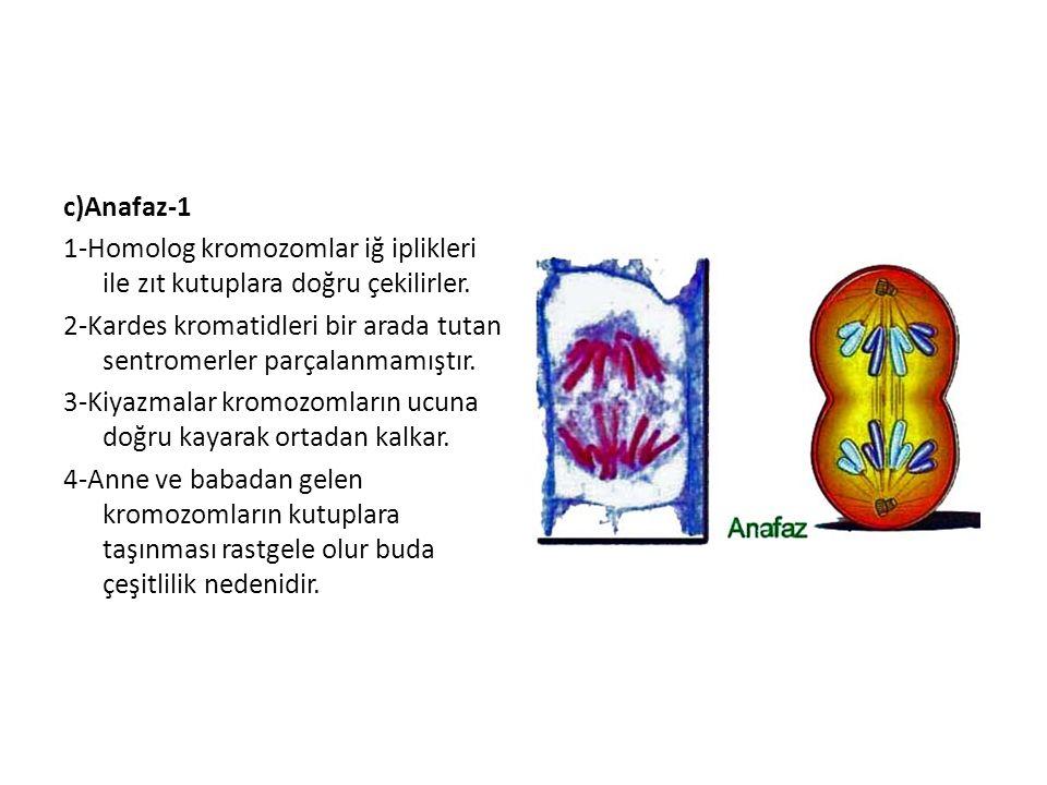 c)Anafaz-1 1-Homolog kromozomlar iğ iplikleri ile zıt kutuplara doğru çekilirler.