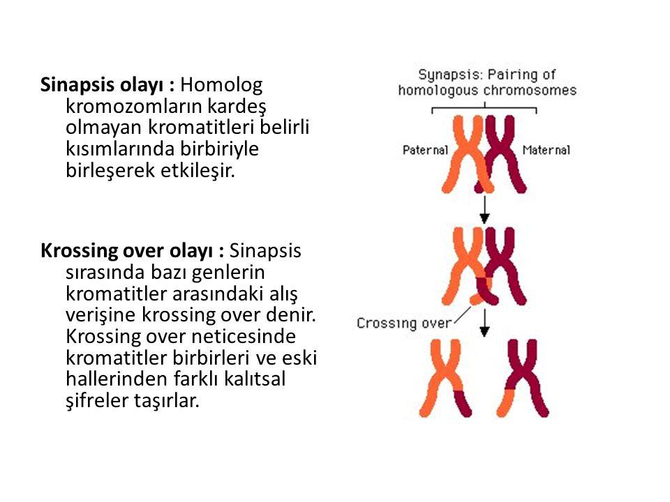 Sinapsis olayı : Homolog kromozomların kardeş olmayan kromatitleri belirli kısımlarında birbiriyle birleşerek etkileşir.