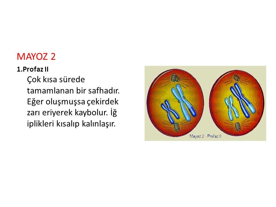 MAYOZ 2 1.Profaz II Çok kısa sürede tamamlanan bir safhadır.