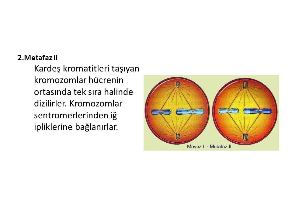 2.Metafaz II Kardeş kromatitleri taşıyan kromozomlar hücrenin ortasında tek sıra halinde dizilirler.
