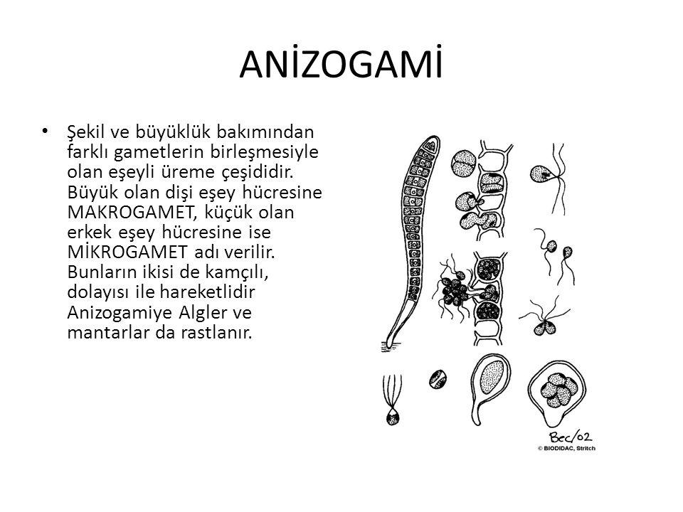 ANİZOGAMİ