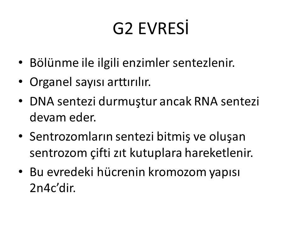 G2 EVRESİ Bölünme ile ilgili enzimler sentezlenir.