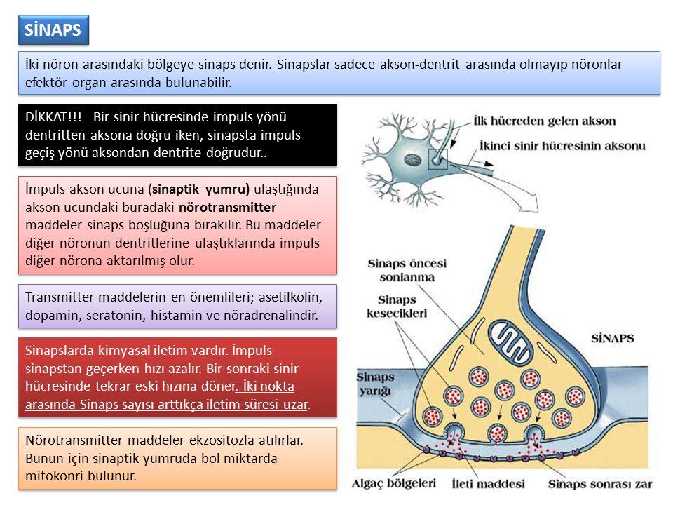 SİNAPS İki nöron arasındaki bölgeye sinaps denir. Sinapslar sadece akson-dentrit arasında olmayıp nöronlar efektör organ arasında bulunabilir.