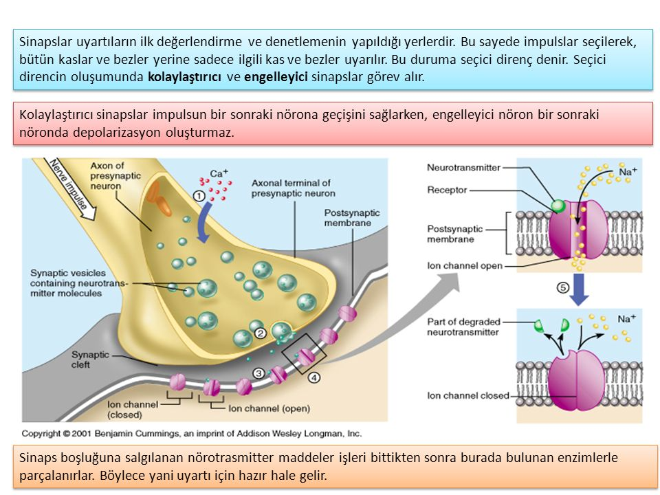 Sinapslar uyartıların ilk değerlendirme ve denetlemenin yapıldığı yerlerdir. Bu sayede impulslar seçilerek, bütün kaslar ve bezler yerine sadece ilgili kas ve bezler uyarılır. Bu duruma seçici direnç denir. Seçici direncin oluşumunda kolaylaştırıcı ve engelleyici sinapslar görev alır.