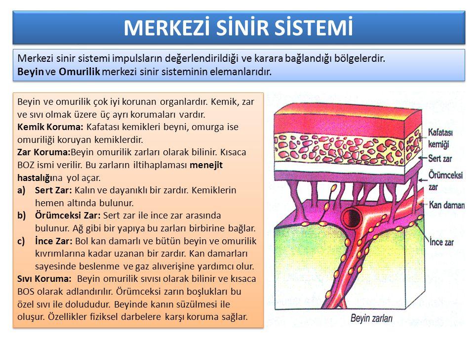 MERKEZİ SİNİR SİSTEMİ Merkezi sinir sistemi impulsların değerlendirildiği ve karara bağlandığı bölgelerdir.