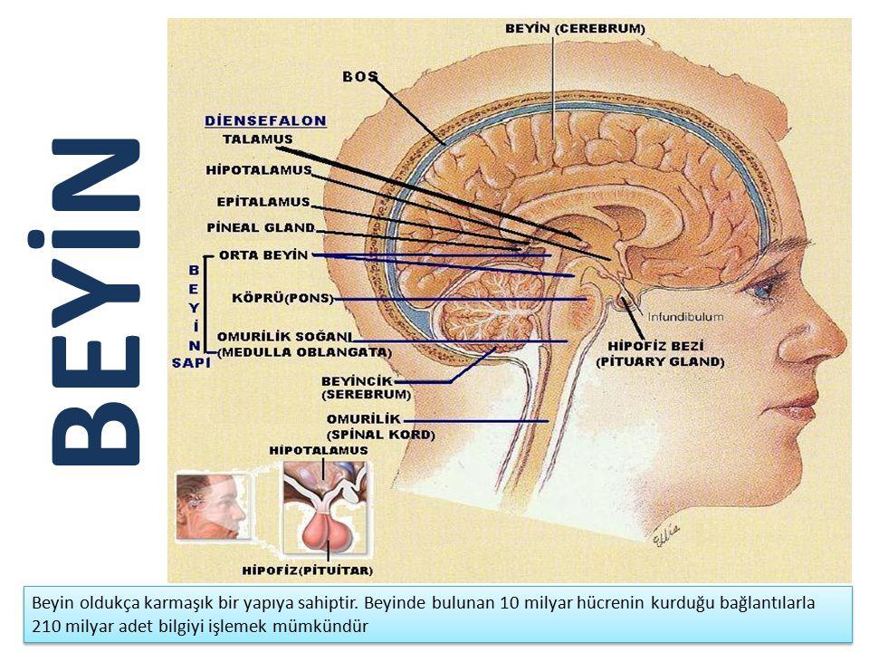 BEYİN Beyin oldukça karmaşık bir yapıya sahiptir.