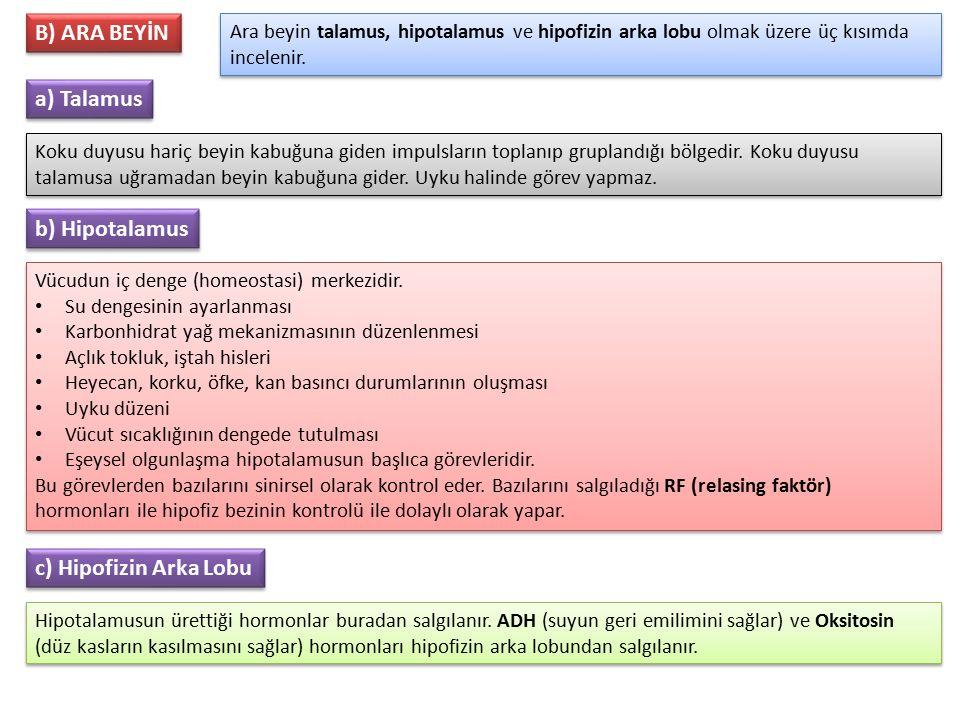 B) ARA BEYİN a) Talamus b) Hipotalamus c) Hipofizin Arka Lobu