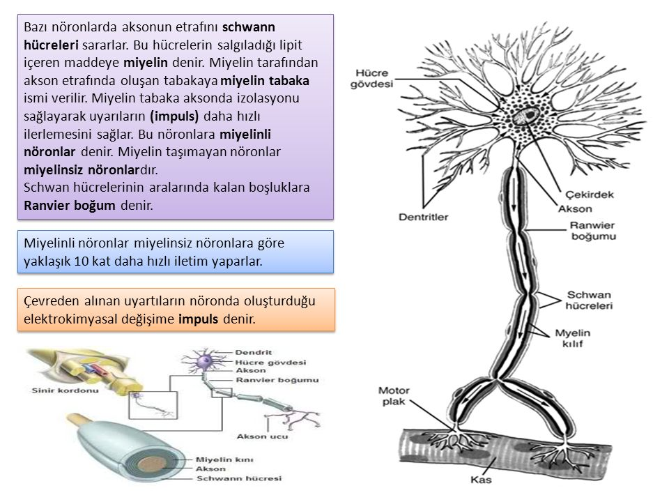 Bazı nöronlarda aksonun etrafını schwann hücreleri sararlar