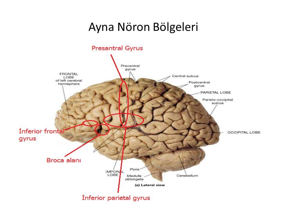 Ayna Nöron Bölgeleri