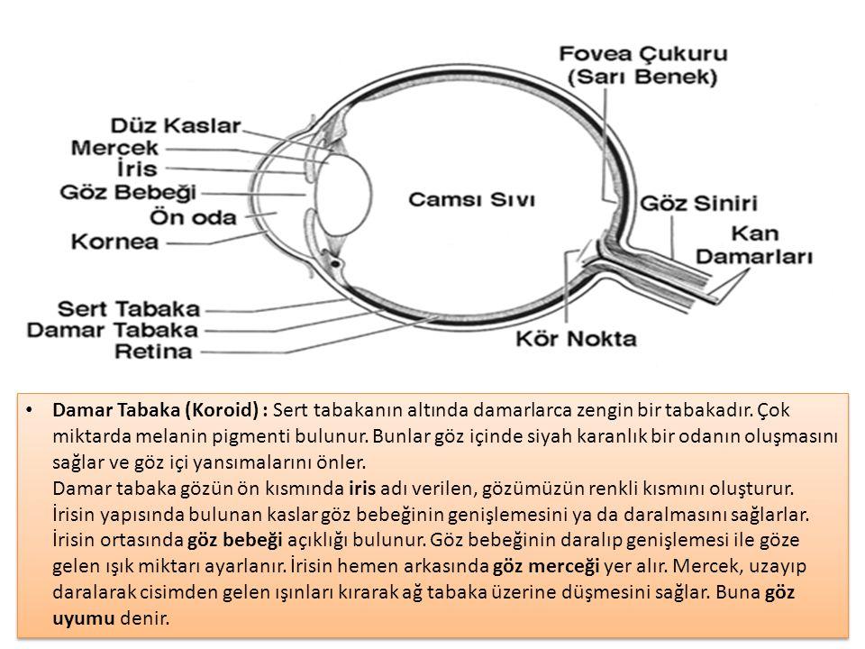 Damar Tabaka (Koroid) : Sert tabakanın altında damarlarca zengin bir tabakadır.