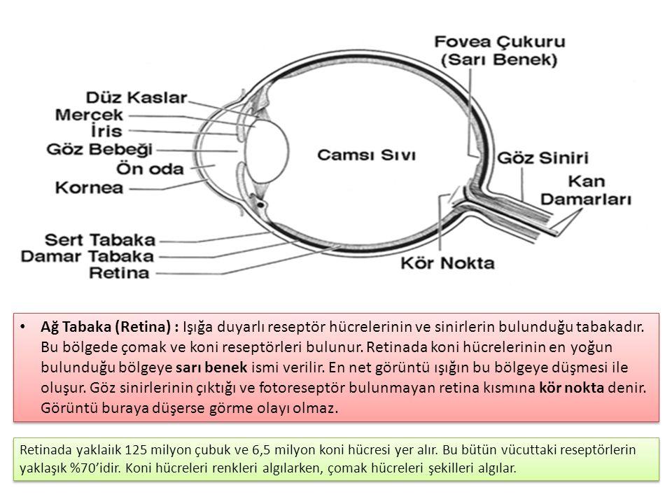 Ağ Tabaka (Retina) : Işığa duyarlı reseptör hücrelerinin ve sinirlerin bulunduğu tabakadır. Bu bölgede çomak ve koni reseptörleri bulunur. Retinada koni hücrelerinin en yoğun bulunduğu bölgeye sarı benek ismi verilir. En net görüntü ışığın bu bölgeye düşmesi ile oluşur. Göz sinirlerinin çıktığı ve fotoreseptör bulunmayan retina kısmına kör nokta denir. Görüntü buraya düşerse görme olayı olmaz.