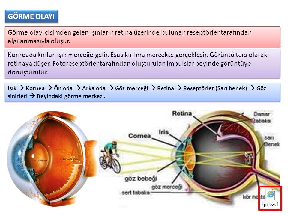 GÖRME OLAYI Görme olayı cisimden gelen ışınların retina üzerinde bulunan reseptörler tarafından algılanmasıyla oluşur.