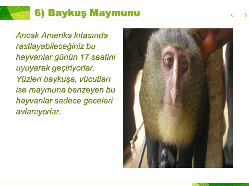 6) Baykuş Maymunu