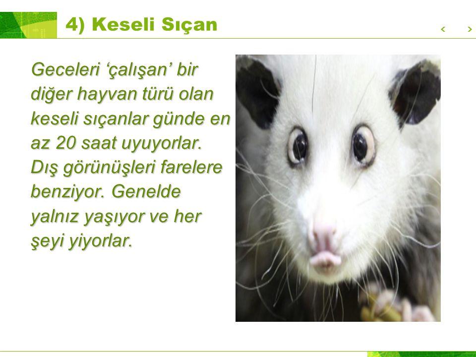 4) Keseli Sıçan