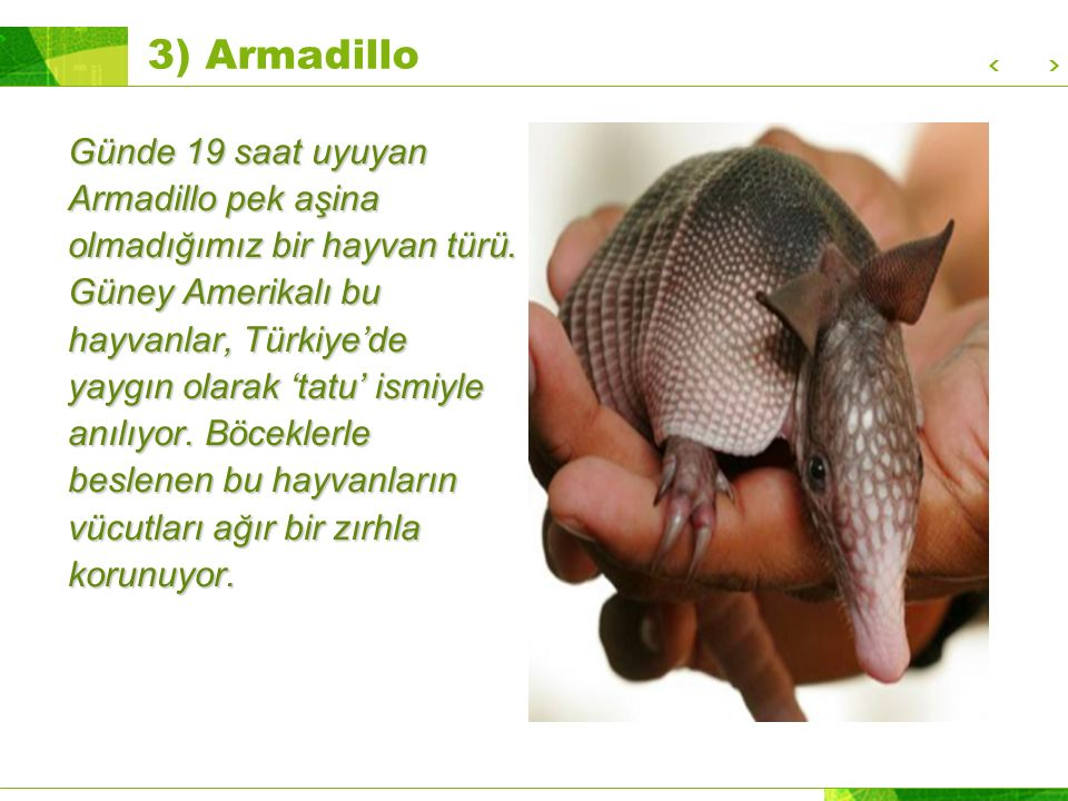 3) Armadillo