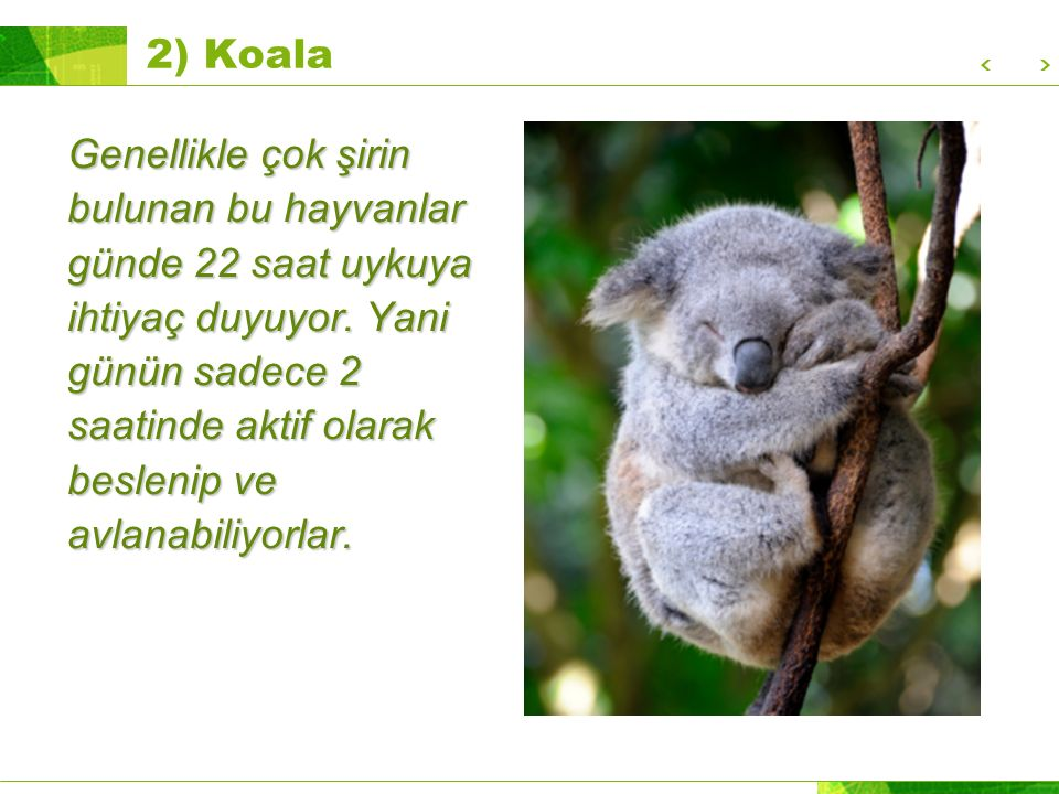 2) Koala
