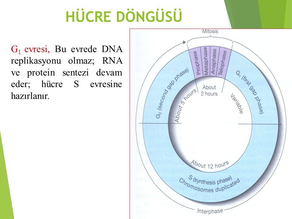 HÜCRE DÖNGÜSÜ G1 evresi, Bu evrede DNA replikasyonu olmaz; RNA ve protein sentezi devam eder; hücre S evresine hazırlanır.