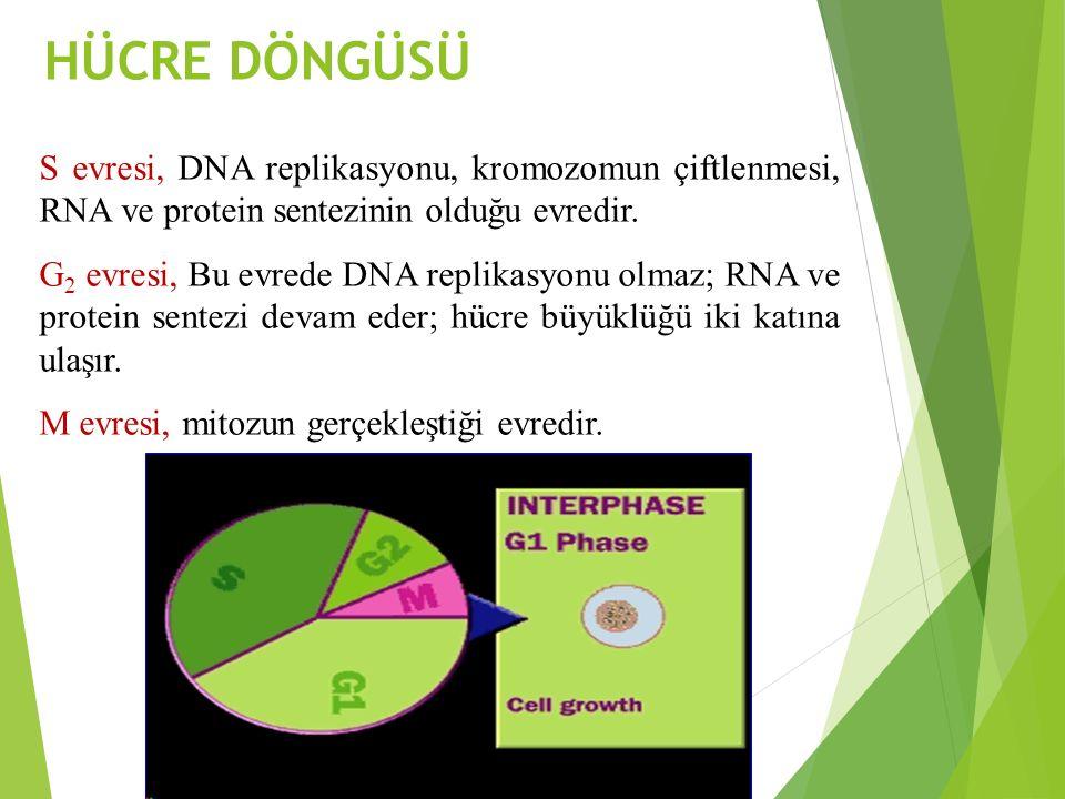 HÜCRE DÖNGÜSÜ S evresi, DNA replikasyonu, kromozomun çiftlenmesi, RNA ve protein sentezinin olduğu evredir.