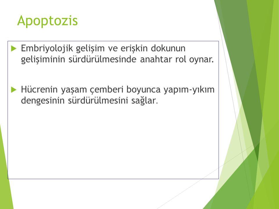 Apoptozis Embriyolojik gelişim ve erişkin dokunun gelişiminin sürdürülmesinde anahtar rol oynar.