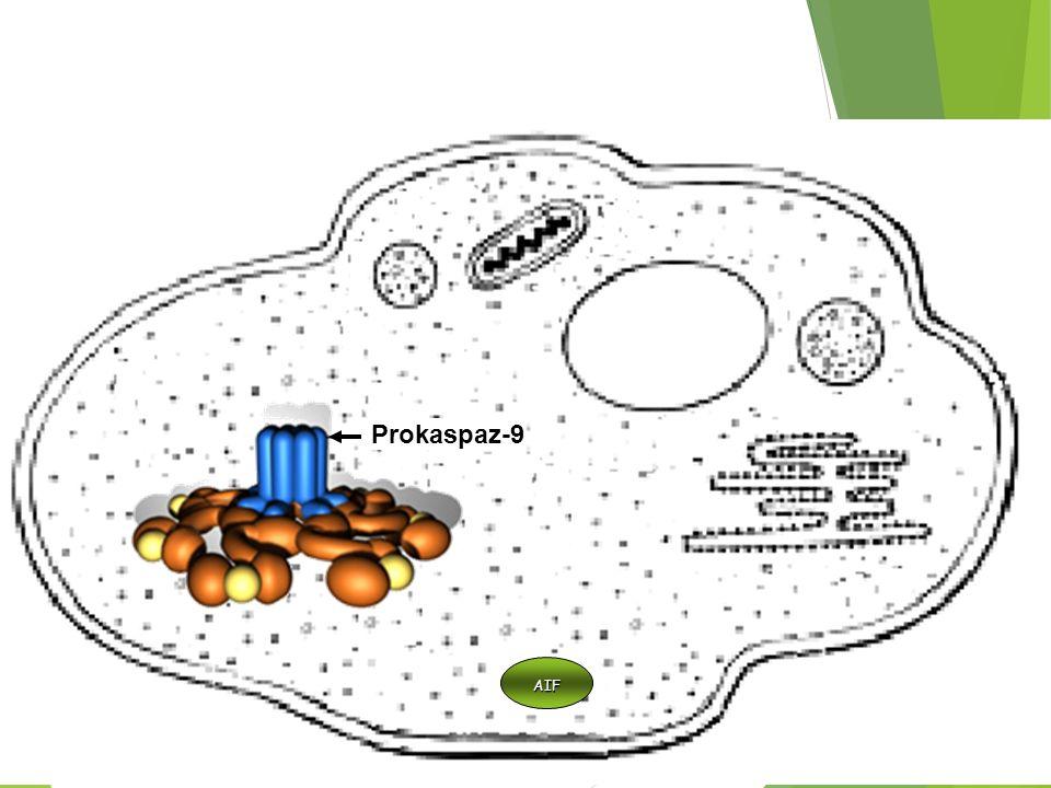 Prokaspaz-9 Mitokondri AIF