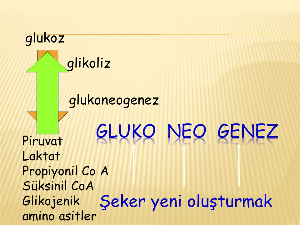 gluko neo genez Şeker yeni oluşturmak glukoz glikoliz glukoneogenez