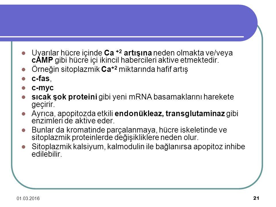 Örneğin sitoplazmik Ca+2 miktarında hafif artış c-fas, c-myc